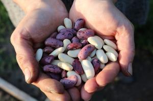 runner-beans-1835646_640